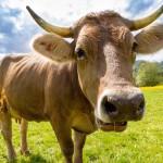 Die Kuh in unserem Bibelverständnis