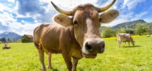 cow-759018_1280 Kopie