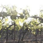Das Spalier und der Weinstock